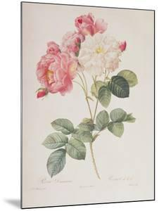 Rosa Damascena, from 'Les Roses', 1817 by Pierre-Joseph Redouté