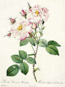 Rosa Damascena Variegata (York and Lancaster Rose), Engraved by Bessin, from 'Les Roses', 1817-24 by Pierre-Joseph Redouté