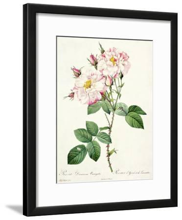 Rosa Damascena Variegata (York and Lancaster Rose), Engraved by Bessin, from 'Les Roses', 1817-24