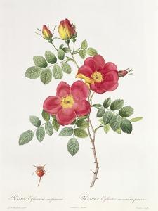 Rosa Eglantera Punicea by Pierre-Joseph Redouté