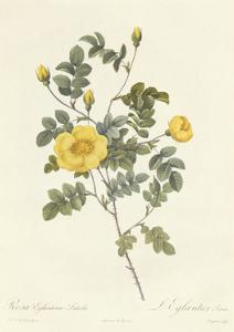Rosa Eglanteria Luteola by Pierre-Joseph Redouté