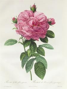 Rosa Gallica Flore Giganteo by Pierre-Joseph Redouté