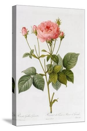 Rosa Gallica Granatus, from 'Les Roses', Vol II, 1821