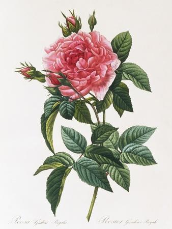 Rosa Gallica Reglais