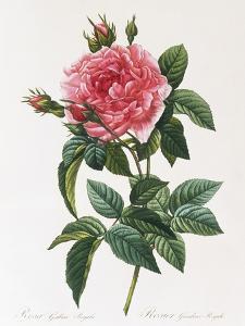 Rosa Gallica Reglais by Pierre-Joseph Redouté