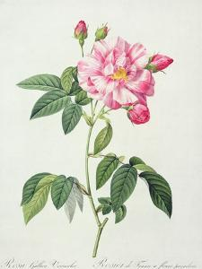 Rosa Gallica Versicolor (French Rose), Engraved by Langlois, from 'Les Roses', 1817-24 by Pierre-Joseph Redouté