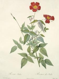 Rosa Indica, Engraved by Chapuy, from 'Les Roses', 1817-24 by Pierre-Joseph Redouté