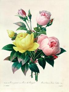 """Rosa Lutea and Rosa Indica, from """"Les Choix Des Plus Belles Fleurs,"""" 1827 by Pierre-Joseph Redouté"""