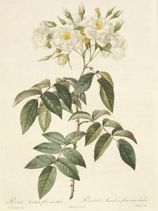 Rosa Moschata Flora Semi-Pleno by Pierre-Joseph Redouté