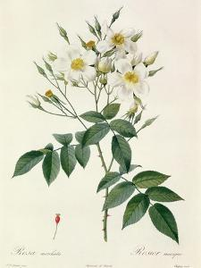 Rosa Moschata or Musk Rose by Pierre-Joseph Redouté