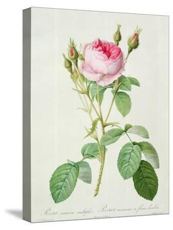 Rosa Muscosa Multiplex (Double Moss Rose), Engraved by Langlois, from 'Les Roses', 1817-24