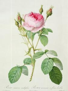 Rosa Muscosa Multiplex (Double Moss Rose), Engraved by Langlois, from 'Les Roses', 1817-24 by Pierre-Joseph Redouté