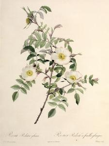Rosa Redutea Glauca, Engraved by Chapuy, Published by Remond by Pierre-Joseph Redouté