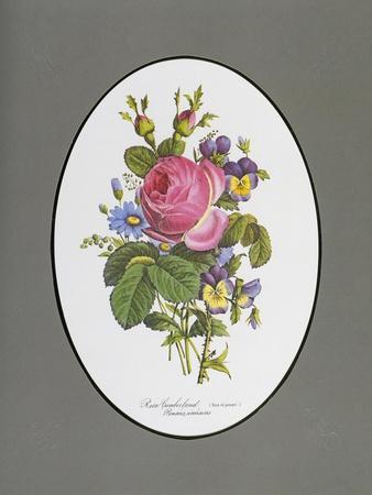 Rose Cumberland, Pansies and Cineraria
