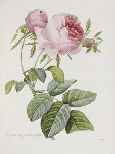 Rose, Engraved by Eustache Hyacinthe Langlois by Pierre-Joseph Redouté