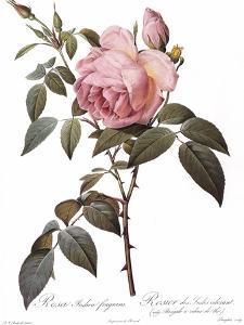Scented Rose of India, Rosa Indica Fragrans by Pierre Joseph Redoute