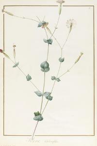 Silene Chloraefolia, 1810 by Pierre Joseph Redoute