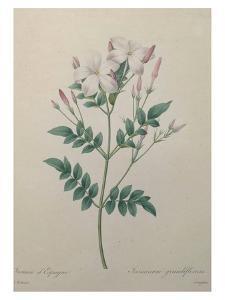 Spanish Jasmine by Pierre-Joseph Redoute