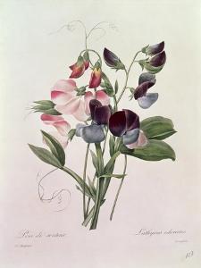 Sweet Peas (Lathyrus Odoratur) from 'Choix Des Plus Belles Fleurs', 1827-33 by Pierre-Joseph Redouté