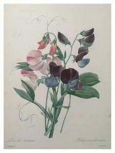 Sweetpea by Pierre-Joseph Redoute