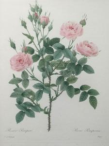 Tassled Rose by Pierre-Joseph Redoute