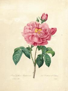 The Duchess of Orleans Rose by Pierre-Joseph Redouté