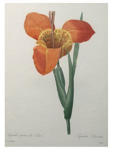 Tiger or Shell Flower by Pierre-Joseph Redoute