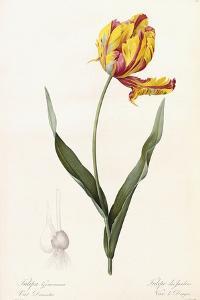 Tulipa Gesneriana - Tulipe Des Jardins by Pierre-Joseph Redouté