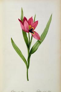 Tulipa Oculus-Solis, from 'Tulipe Des Jardins', 19th Century by Pierre-Joseph Redouté