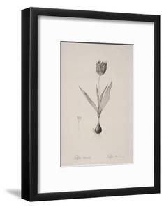 Tulipa Suaveolens by Pierre Joseph Redoute