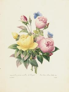 Variety of Yellow Roses and Bengal Roses by Pierre-Joseph Redouté