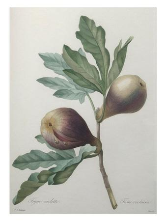 Violet Fig