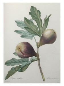Violet Fig by Pierre-Joseph Redoute