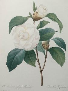 White Camellia by Pierre-Joseph Redoute