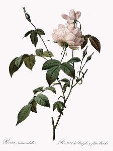White China Rose by Pierre Joseph Redoute