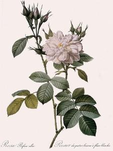 White Four-Seasons Rose by Pierre Joseph Redoute