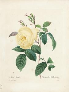 Yellow Rosa Indica by Pierre-Joseph Redouté