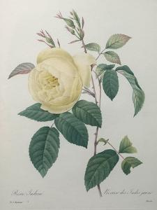Yellow Rose of the Indies by Pierre-Joseph Redoute