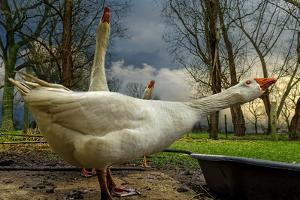 The 3 Geese by Piet Flour