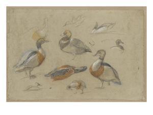 Etude de canards et tête de sarcelle by Pieter Boel