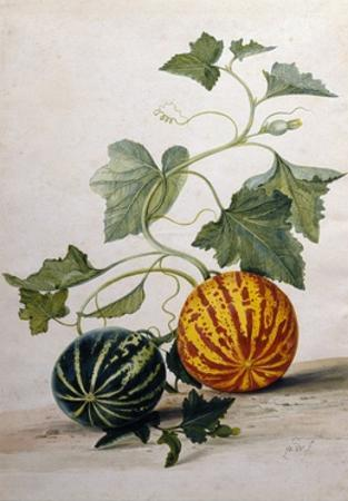 A Study of Gourds by Pieter Withoos