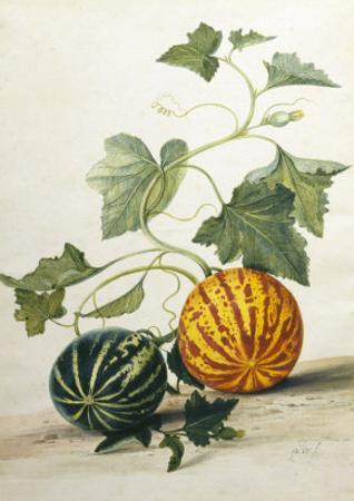 Study of Gourds by Pieter Withoos