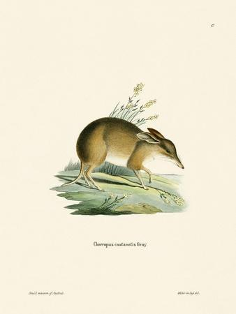 Pig-Footed Bandicoot--Giclee Print