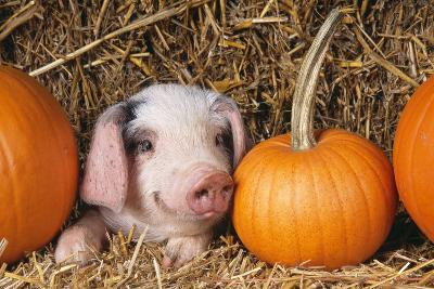 Pig Gloucester Old Spot Piglet with Pumpkins--Photographic Print