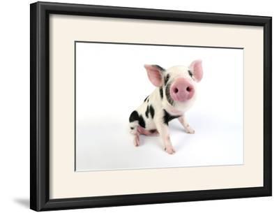 Pig Kune Kune Cross Gloucester Old Spot Piglet--Framed Photographic Print