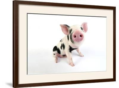 Pig Kune Kune Cross Gloucester Old Spot Piglet--Framed Photographic Print