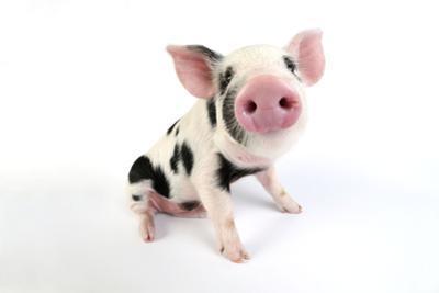 Pig Kune Kune Cross Gloucester Old Spot Piglet