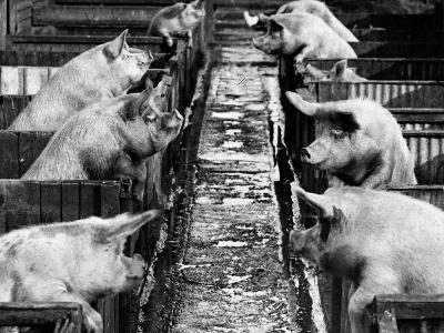 Pig Sty Gossip--Photographic Print