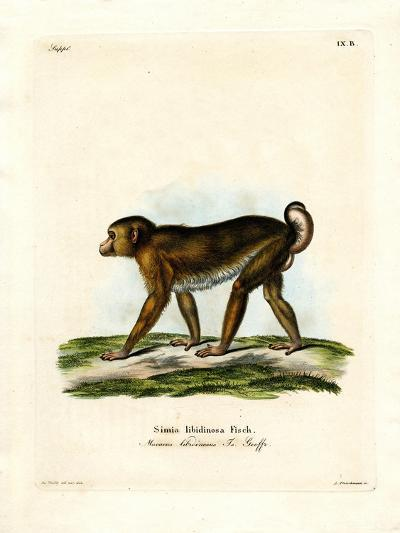 Pig-Tailed Macaque--Giclee Print