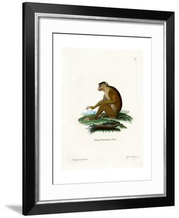 Pig-Tailed Macaque--Framed Giclee Print